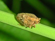 220px-Issidae_-_Issus_sp...