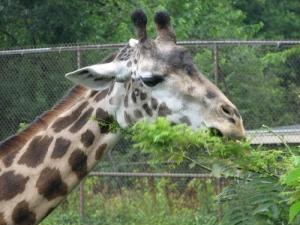 Giraffe23